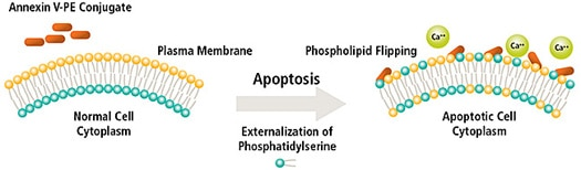 Apoptosis Analysis Cell Death Annexin VPE - Image
